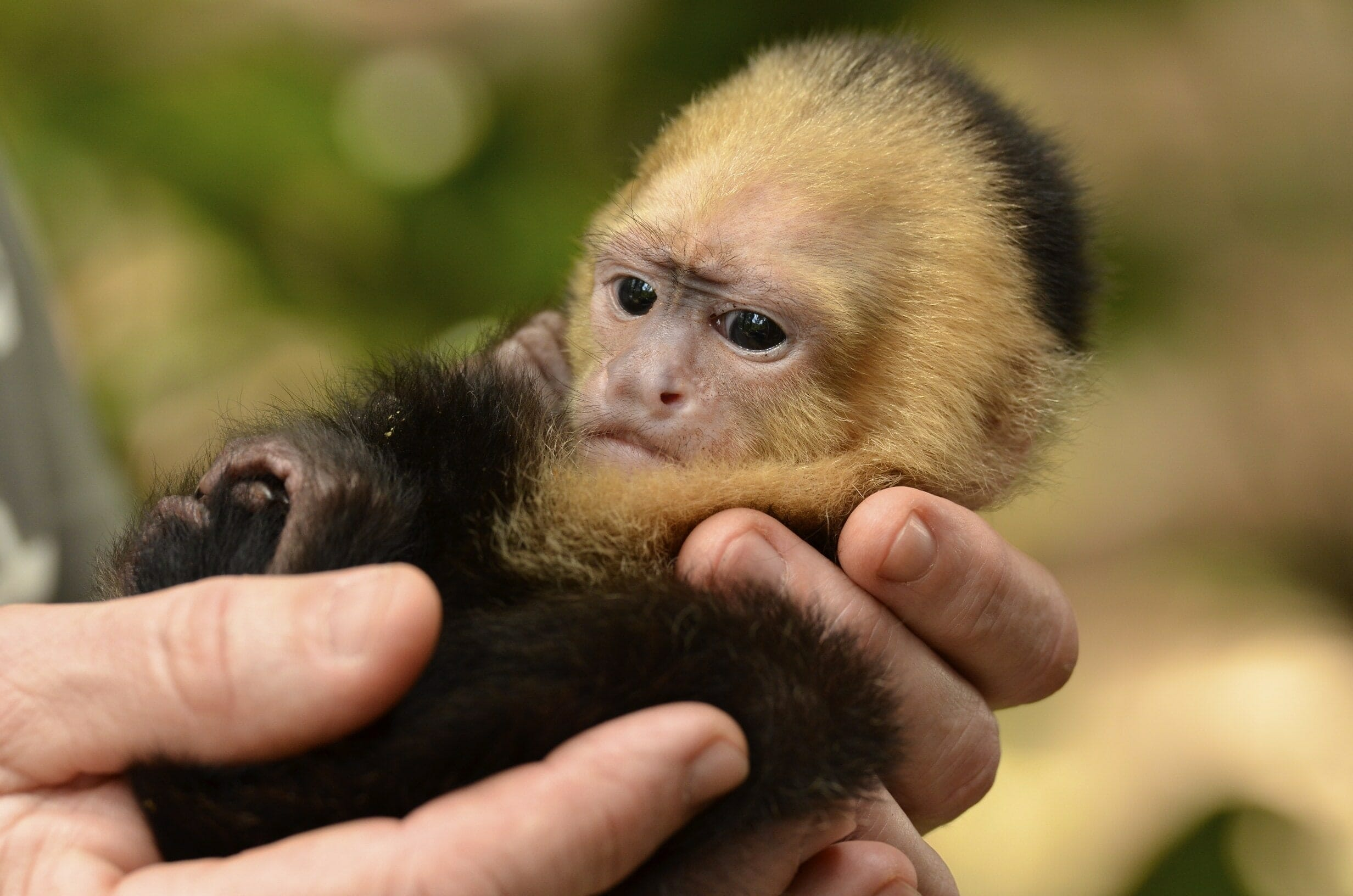 Buy a capuchin monkey online dating 7