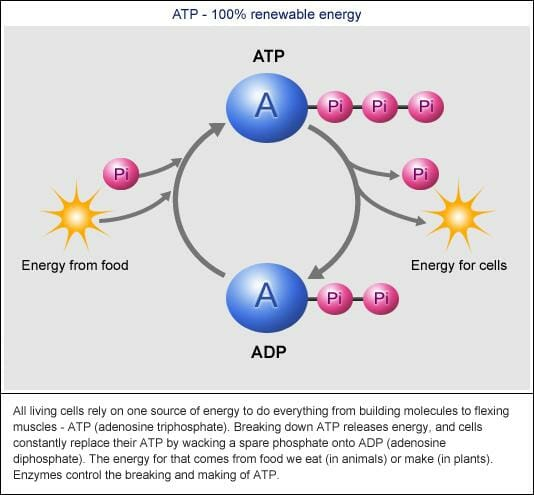 ATP - ADP cycle
