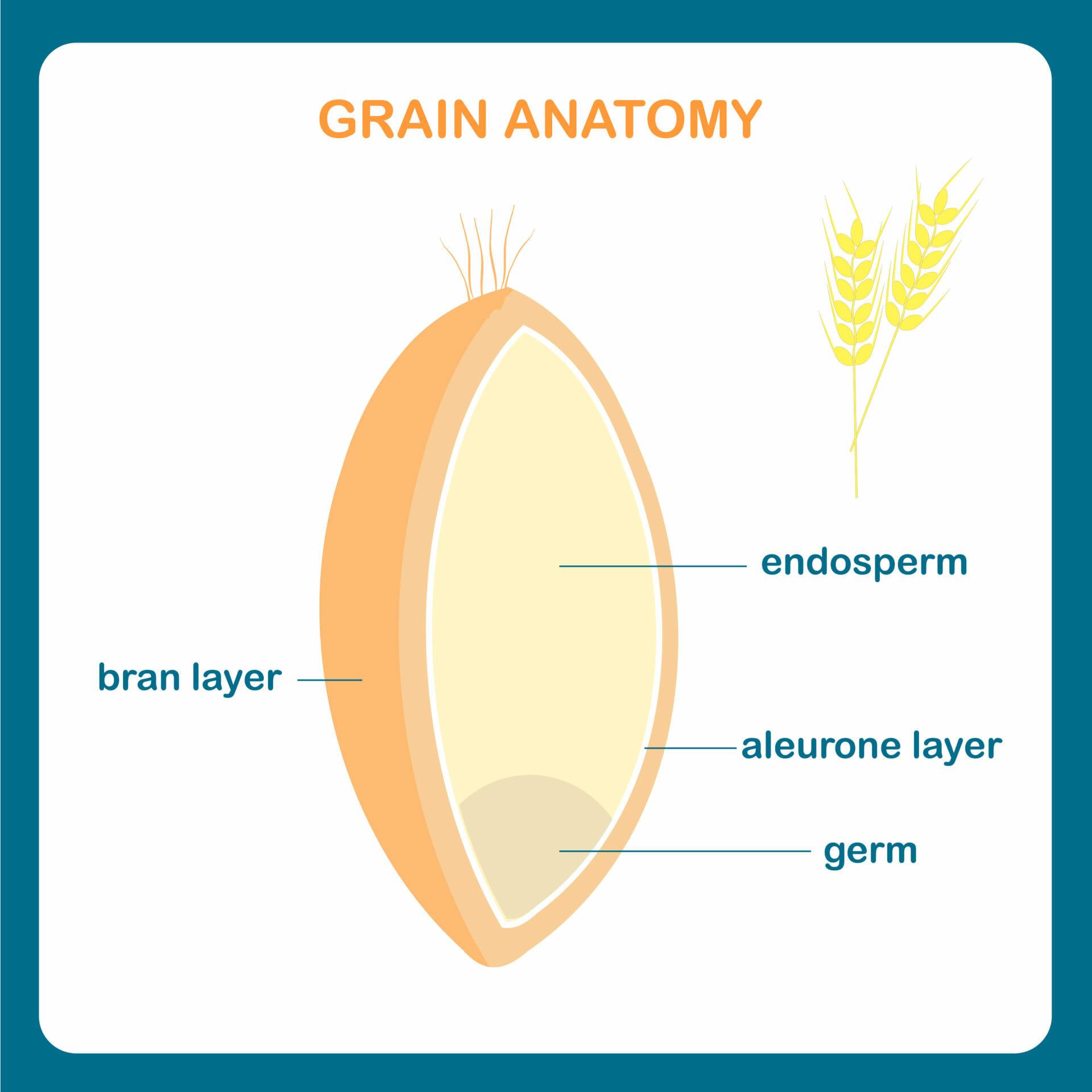 Grain anatomy scheme. Wreath grain, endosperm, bran layer, aleurone layer, germ.